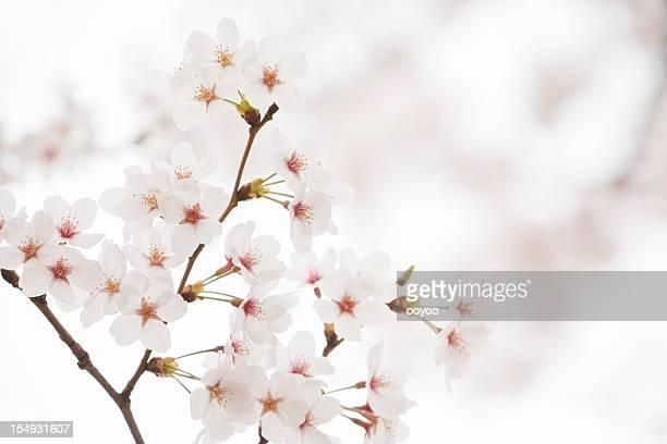 Bianco fiori di ciliegio