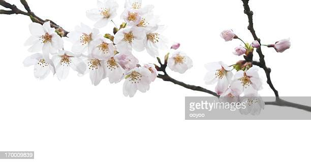 White Cherry Blossoms