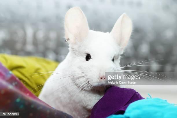 white chinchilla on pillows