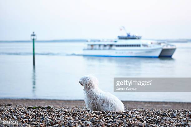 A white Chinese crested powderpuff on the beach
