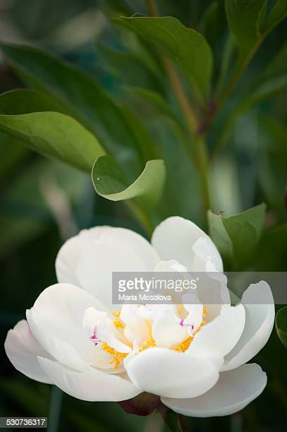 White Chinese Peony Flower