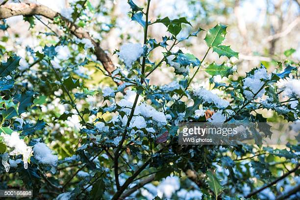 White Christmas, Holly with Snow on Leaves