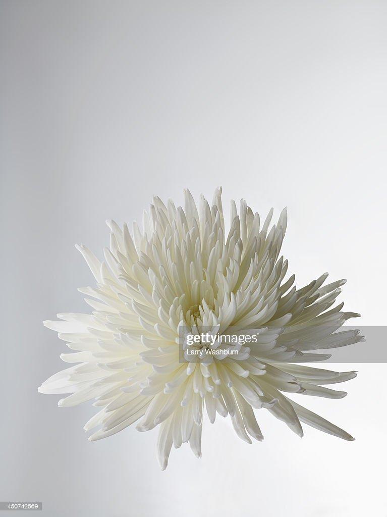 A white Chrysanthemum, close-up