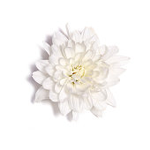White chrysanthemum flower isolated on a white background