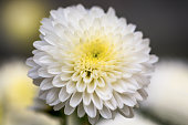 White Chrysanthemum Flower Petals