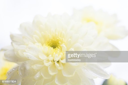 White chrysanthemum flower : Stock Photo