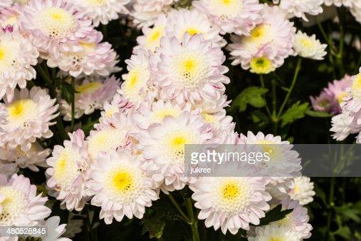 White Chrysanthemum flowers : Stockfoto