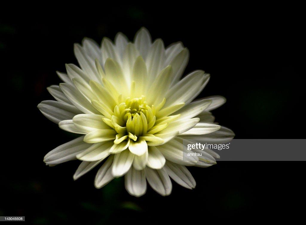 White chrysanthemum : Stock Photo