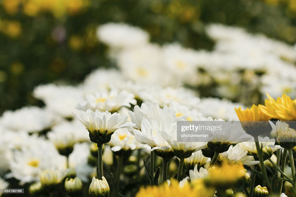 white chrysanthemums flowers : Stock Photo