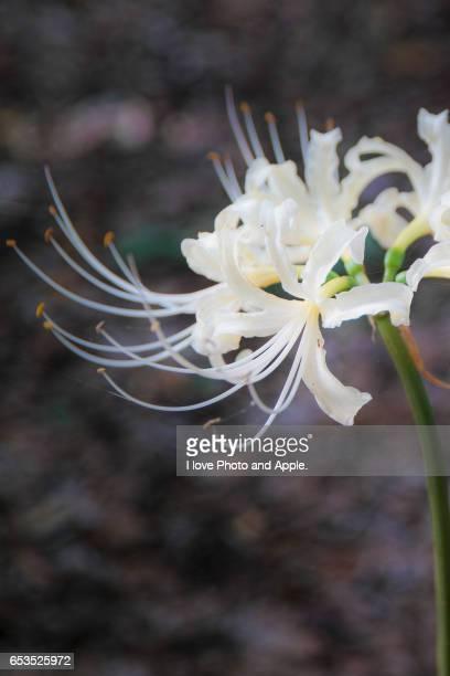 White cluster amaryllis