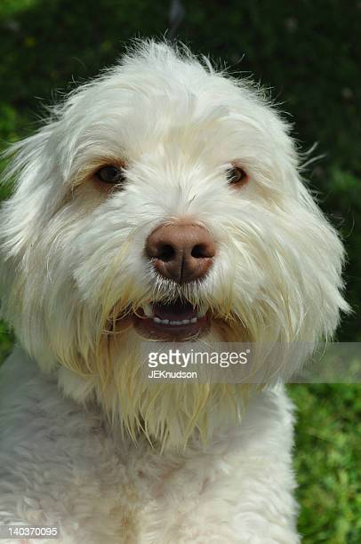 White Cockapoo dog