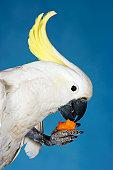 White Cockatoo Eating