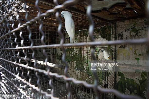 White cockatoos are photographed in their enclosure at the Pata Zoo on September 25 2014 in Bangkok Thailand Located on the 6th and 7th floors of the...