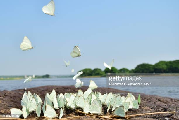 White colored butterflies at seashore