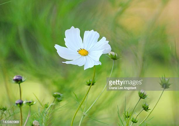 White cosmos flower and buds