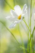 White cosmos flower in morning light
