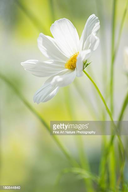 White cosmos flower in morning light