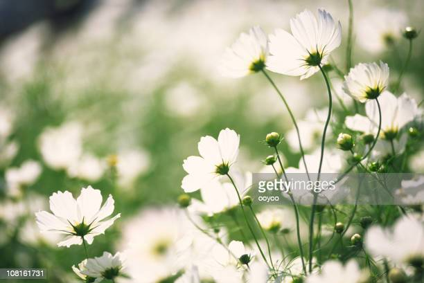 White cosmos flowers in the garden