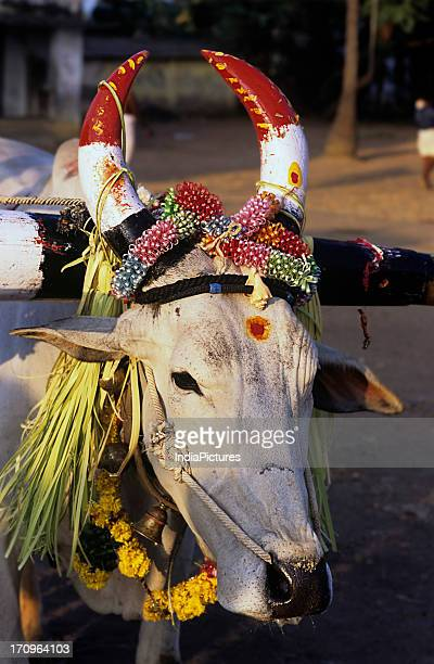 A white cow with painted horns and draped with garlands of flowers in celebration of the festival of Pongal Mamallapuram Tamil Nadu India