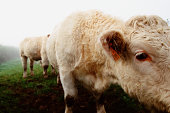 White cows in field