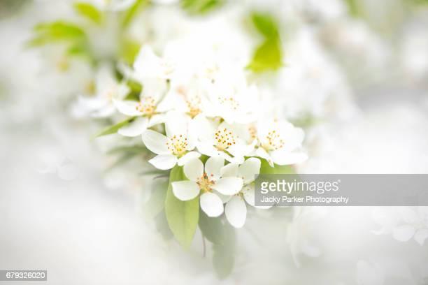 White Crab Apple Blossom - Malus Transitoria
