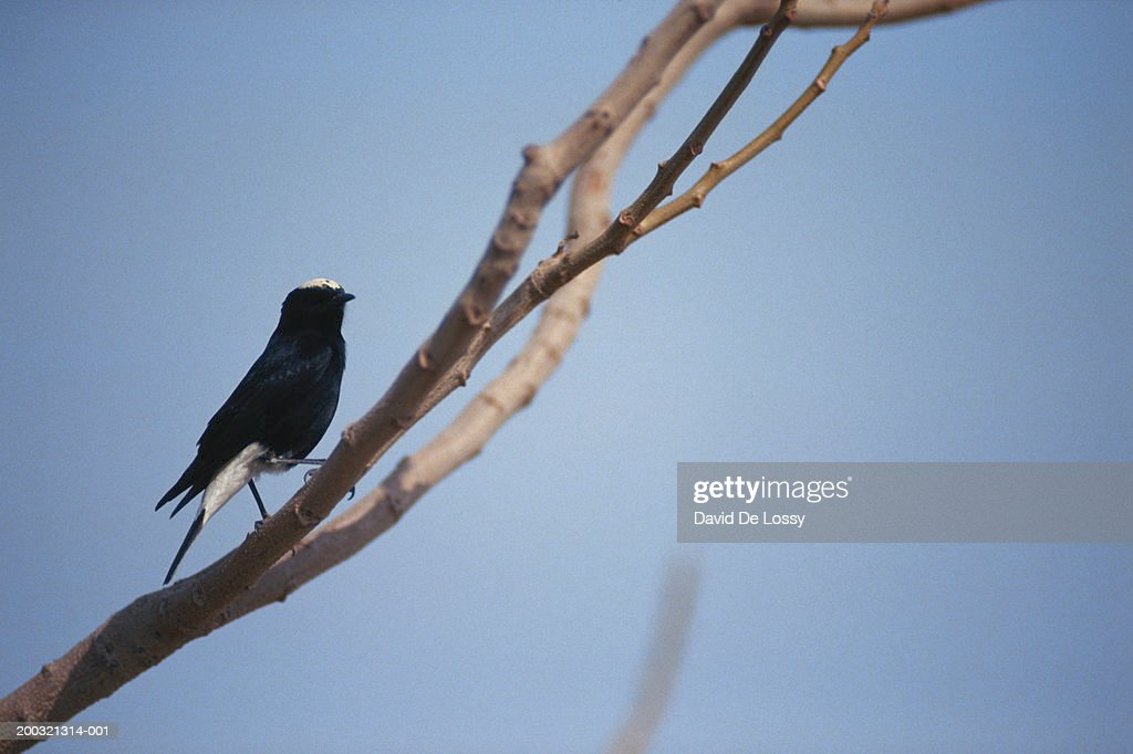 White crowned black wheatear sitting on branch : Stock Photo