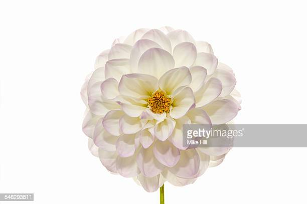White dahlia against white background