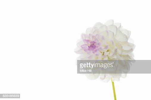 White dahlia on white background