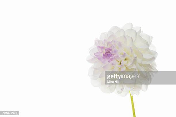 White dahlia on white background