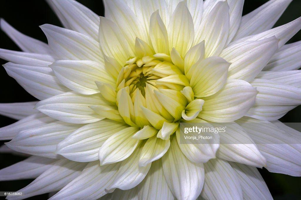 White dahlia : Stock Photo