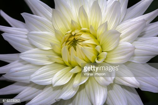 White dahlia : Stock Photo