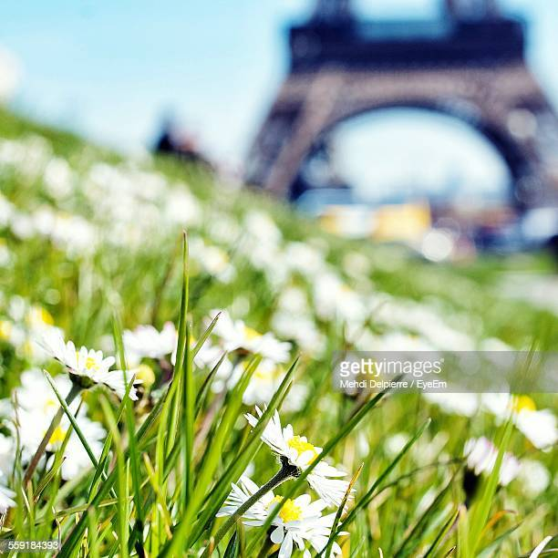 White Daisy Flowers In Field With Eiffel Tower