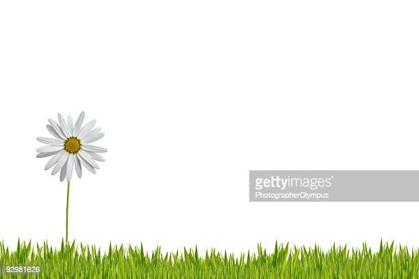 Weiße Gänseblümchen im Gras