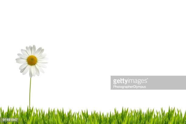 Weiße Gänseblümchen auf Rasen XXL