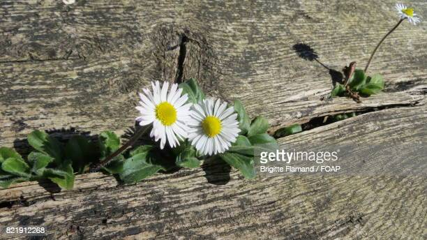 White daisy on wooden table