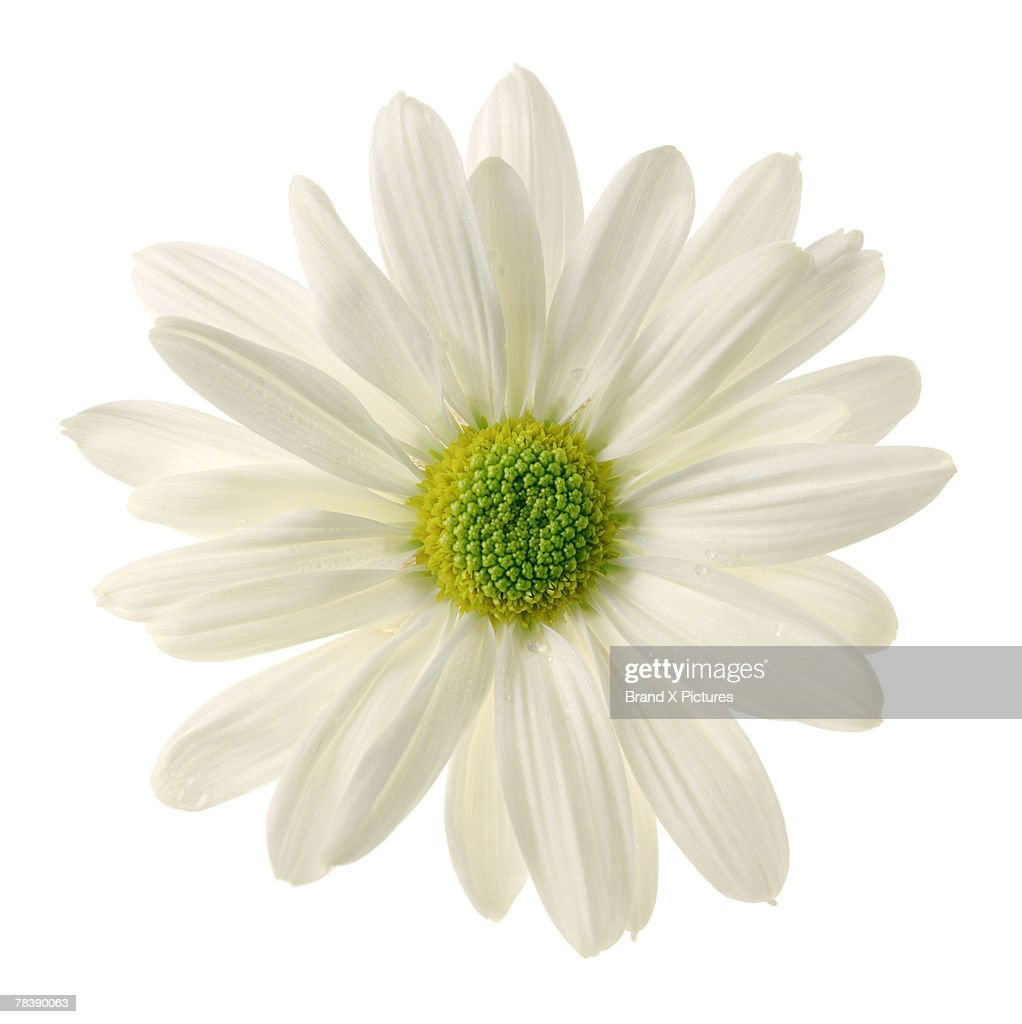 White daisy : Stock Photo