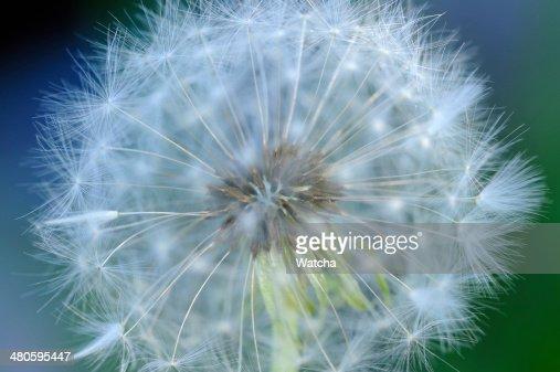 White Dandelion (Taraxacum Officinale) Flower Macro : Stock Photo