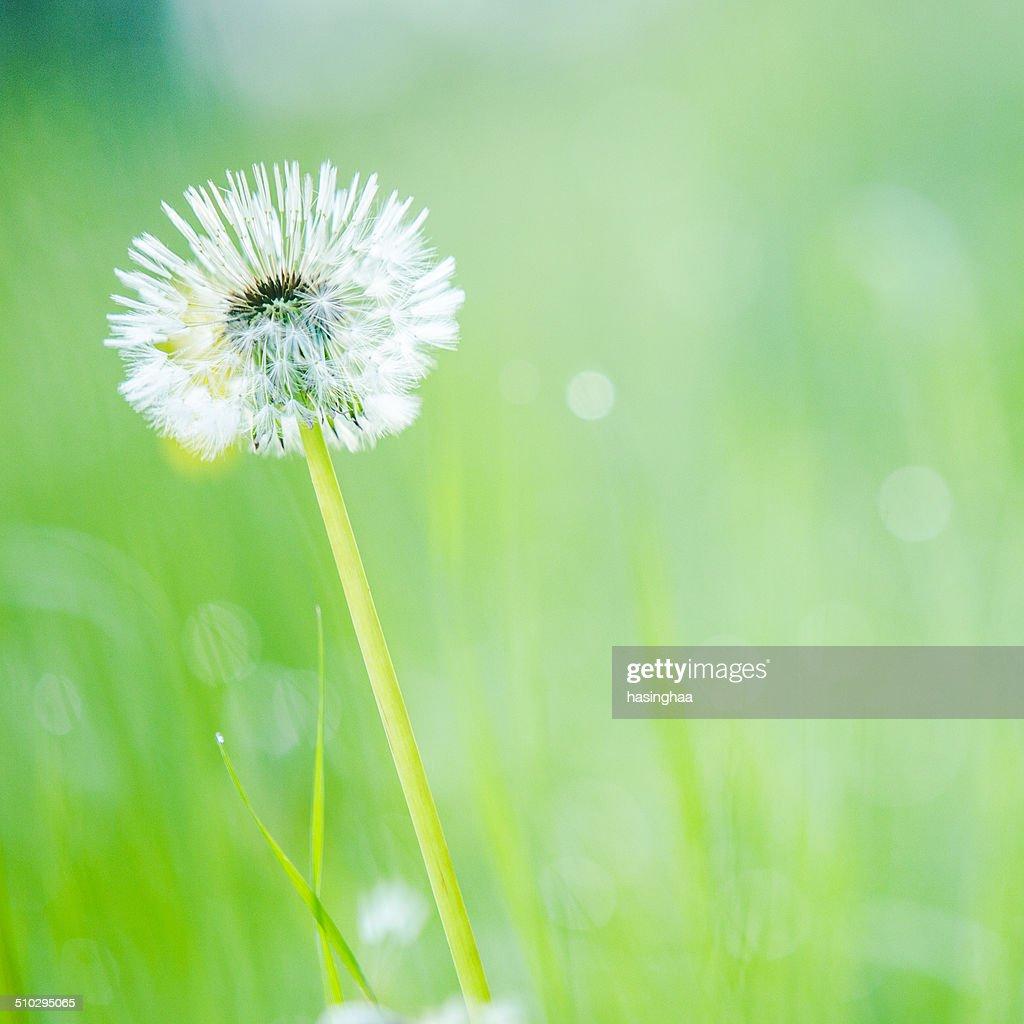 Pictures of white dandelion flower kidskunstfo white dandelion flower on green field stock photo getty mightylinksfo