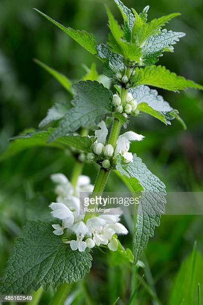 White dead-nettle with buds and flowers