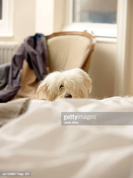 Weißer Hund verstecken hinter dem Bett (Mittenfokus)
