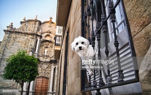 A white dog looking from a window in Tarifa.