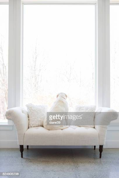 White dog on a white sofa