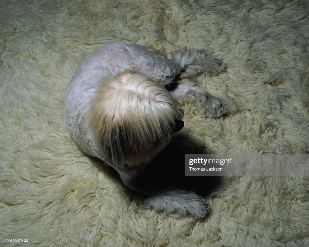 White dog on white carpet, overhead view