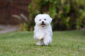 White Maltese Dog Running on the grass