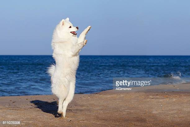 white dog Samoyed dancing on the beach by the sea