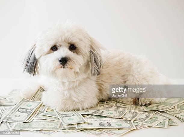 White dog sitting on top of money