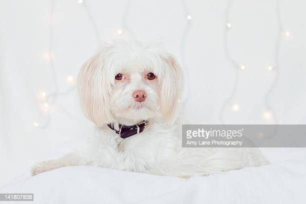 White dog with fairy lights