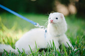 A silver mitt domestic ferret that has more of a white color than silver.  The ferret is on a leash going for a walk in the grass.  He has dark eyes and a cute pink noes.