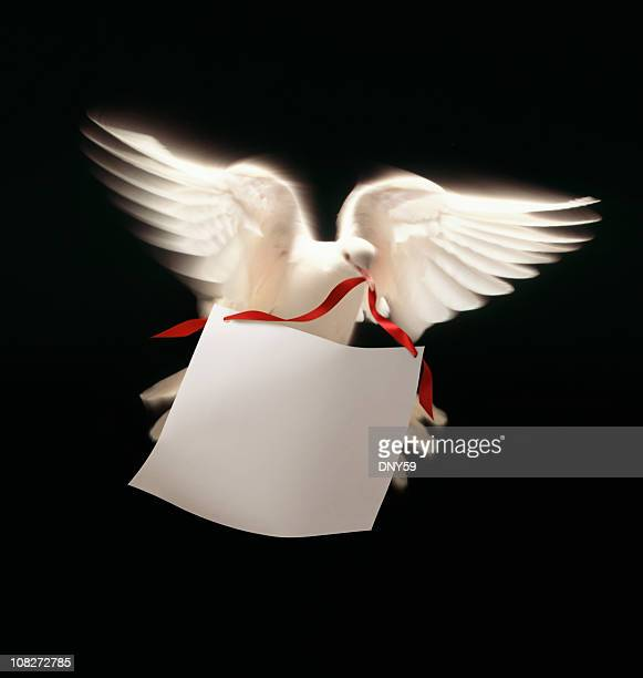 White Dove  Carrying Message