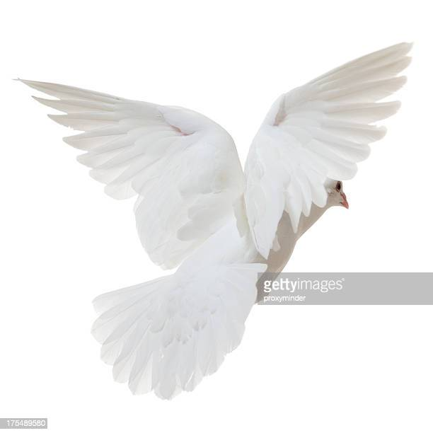 White Dove flying away